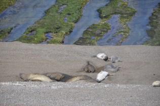 Elephant seals lounging