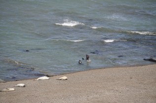 Elephant seals swimming