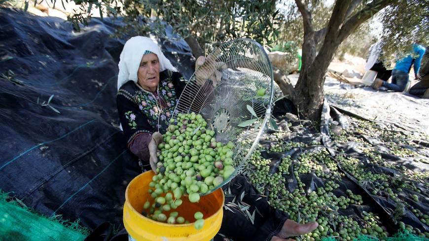 Palestine's olive harvest: a timeless tradition | LaptrinhX / News