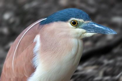 Product image for Bob - Nankeen Night Heron