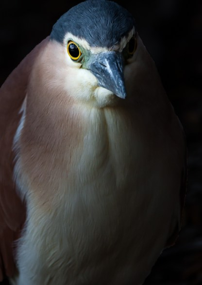 Product image for Nankeen Night Heron