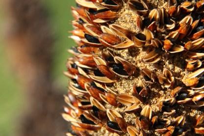 Product image for Balga Seeds
