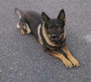 Jony, the retiring Melrose Police K-9