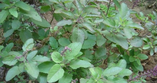 Health benefits of Tulsi (Ocimum Tenuiflorum)