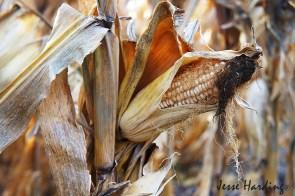 White Corn in the Breeze