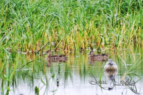 Swimming Amongst the Decoys