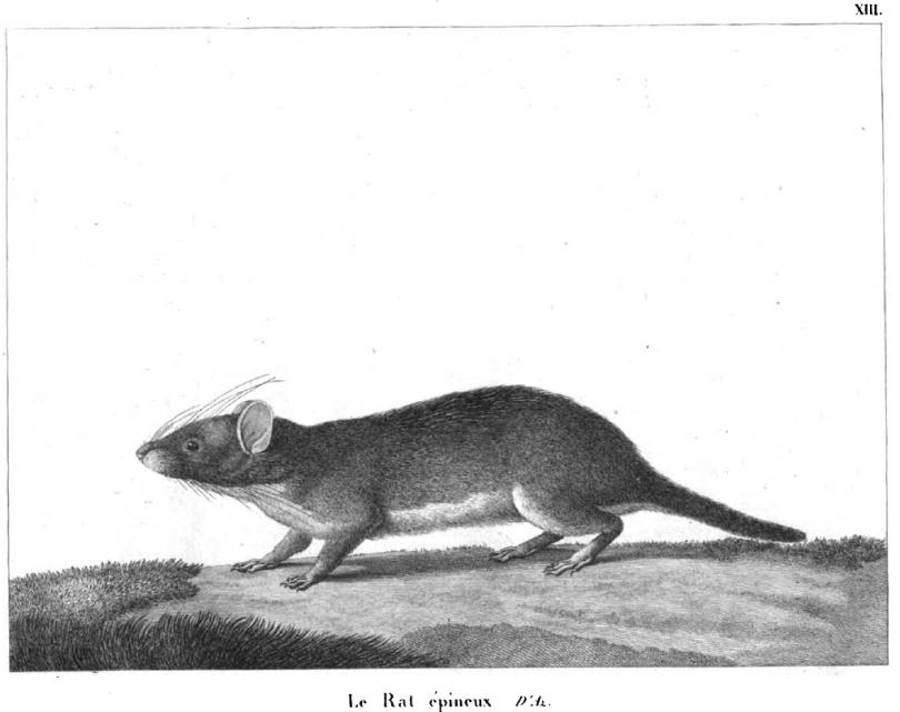 2 Azara's rat