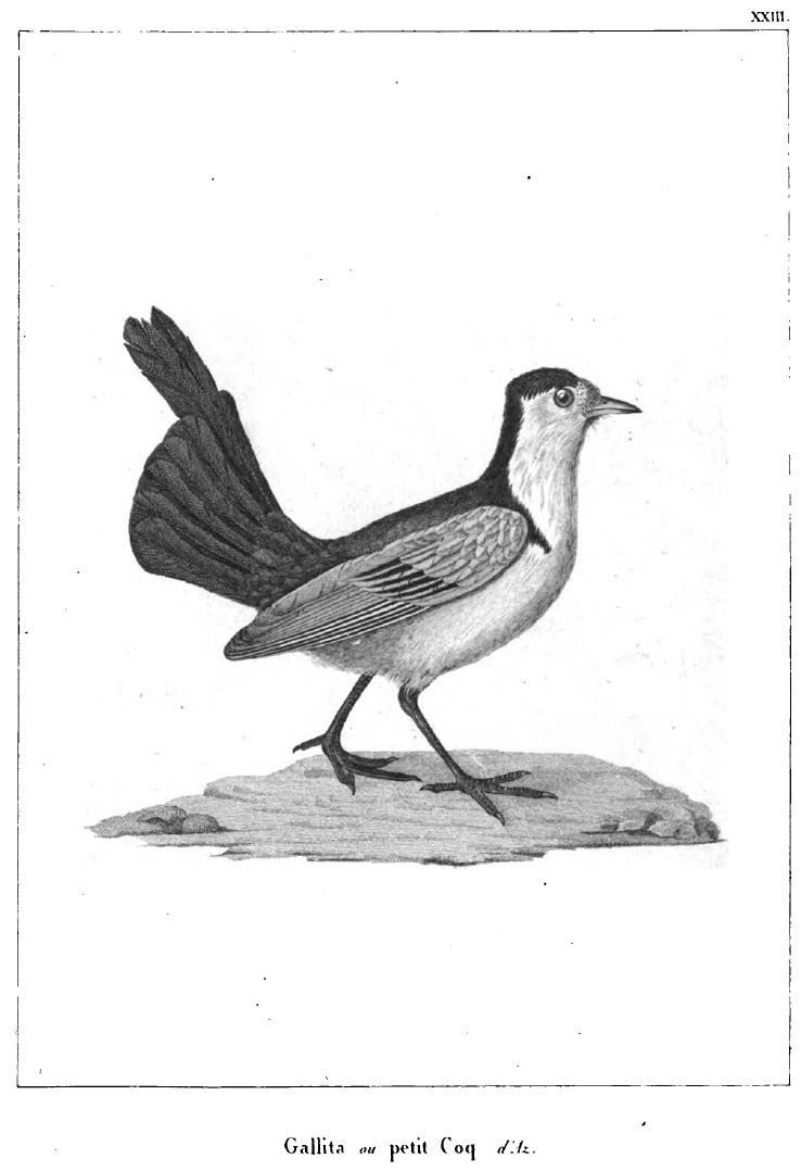 3 Azara's bird