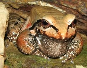 Smokey_Jungle_Frog