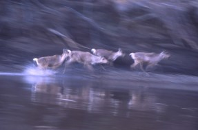 The Floating Coast_B Demuth (Running+Caribou)