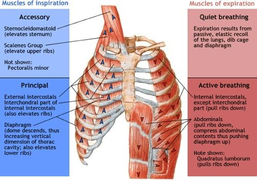 949_937_muscles-of-respiration