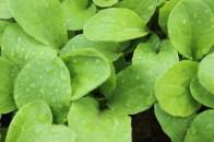 Arugula Plant 1