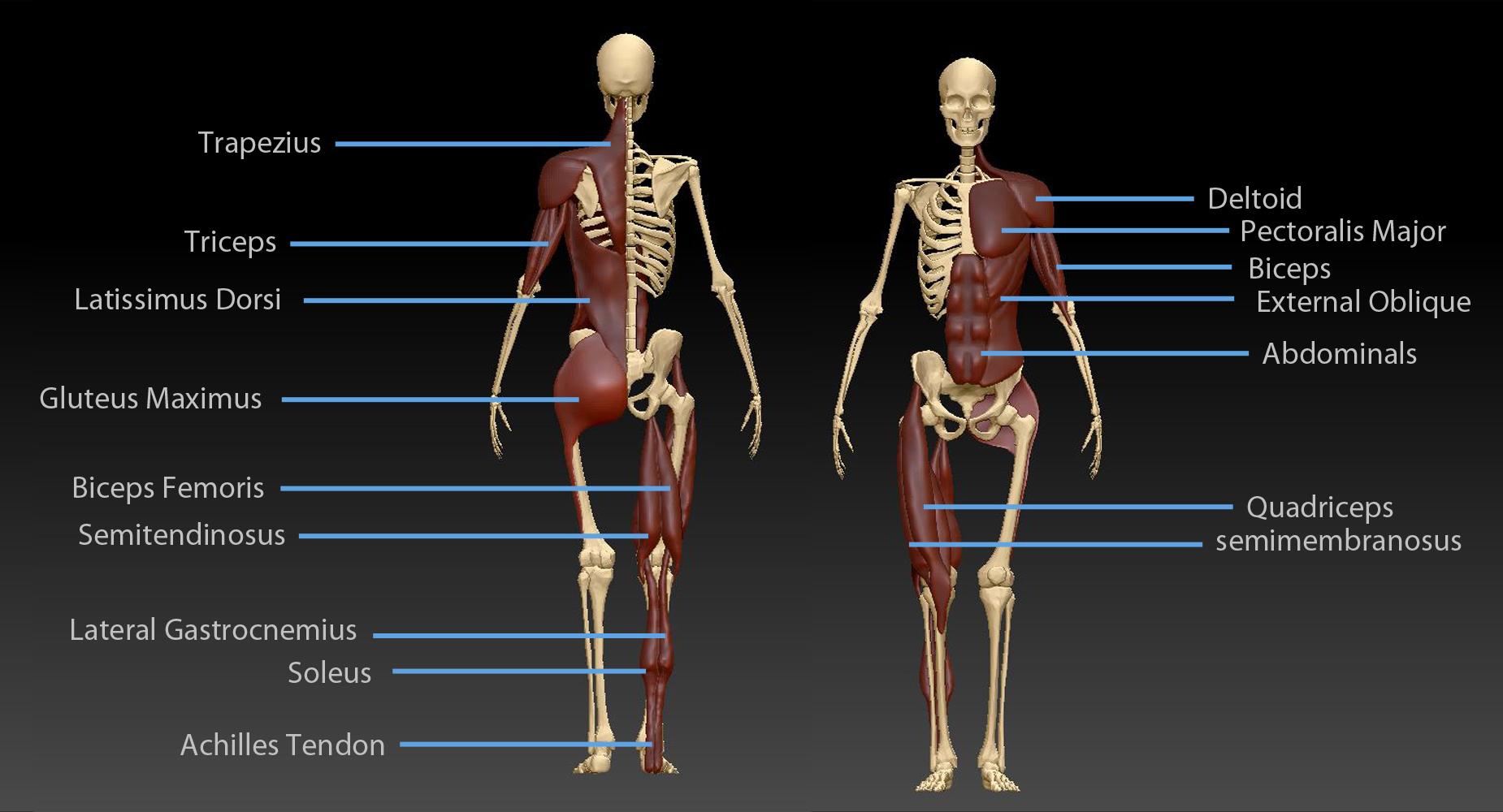 Major Human Surface Anatomy