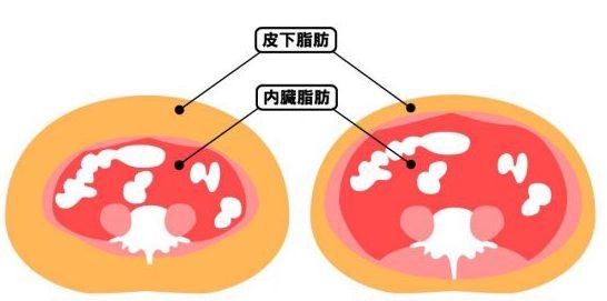皮下脂肪和內臟脂肪 了解脂肪 認識 減肥草藥
