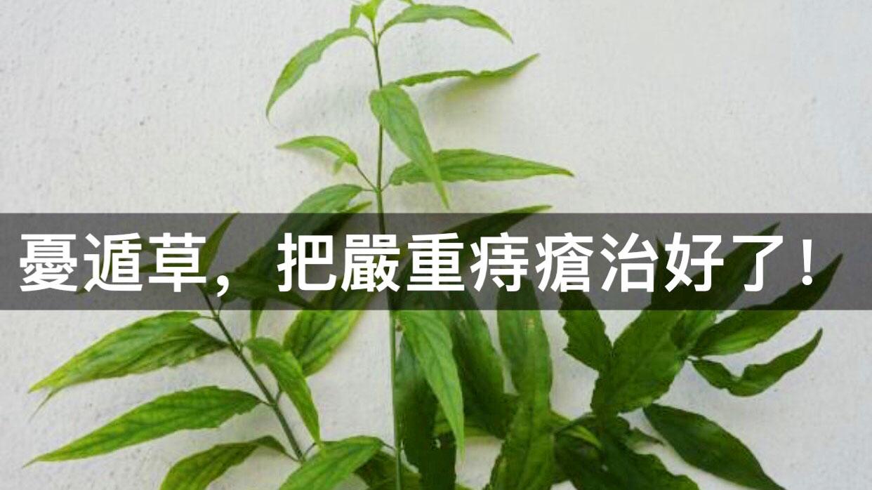 憂遁草,把嚴重痔瘡治好了! - 健康草藥 - 馬來西亞生草藥專家