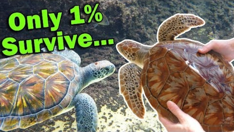 Green Turtle Cayman