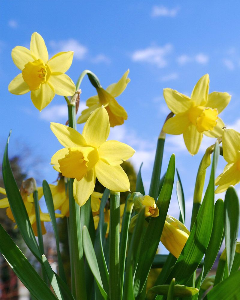 Daffodils  Free Jigsaw Puzzles Online