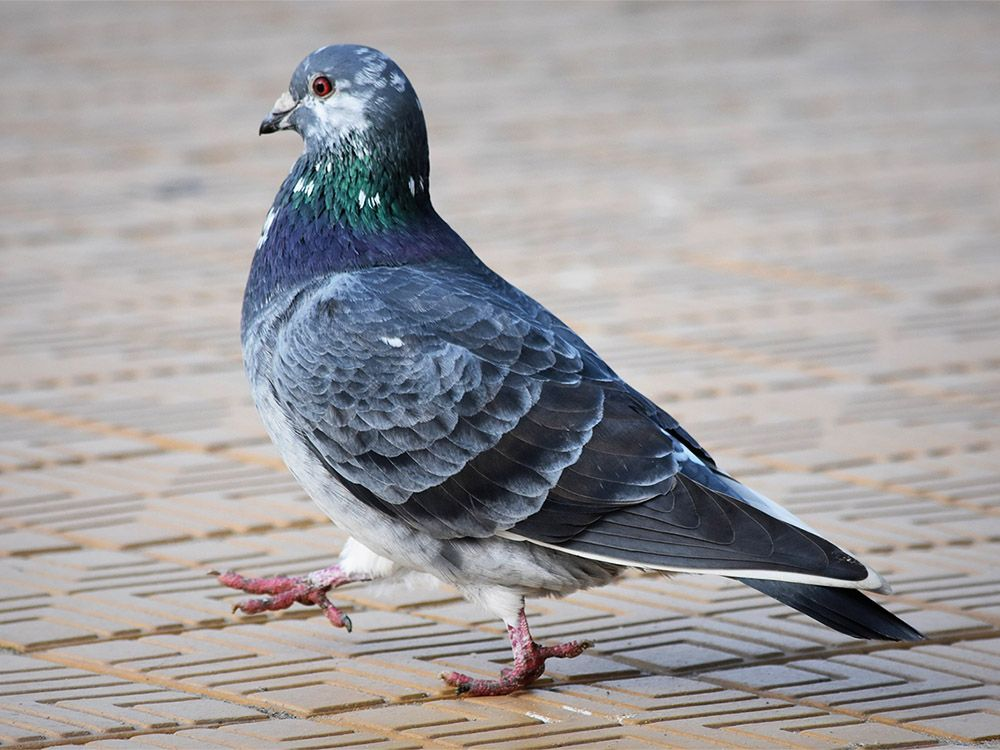 Pigeon Free Jigsaw Puzzles Online