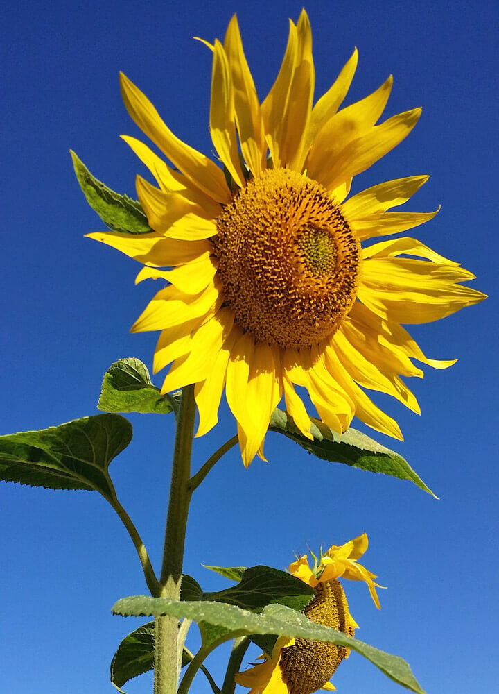 Sunflower Free Jigsaw Puzzles Online