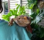 Reggie, the bearded dragon