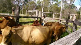 Pushing cattle around the old yards.