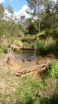 """""""Bogey!"""" The dogs cool themselves down in a waterhole."""