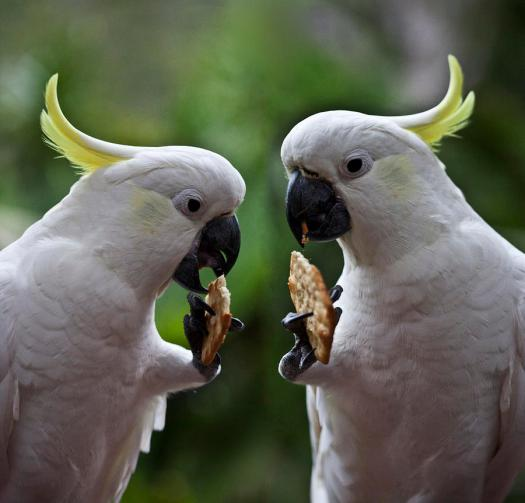The most common coloured Cockatoos - sulphur crested.