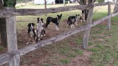 The dogs wait patiently for their turn to work.
