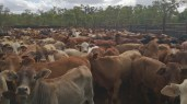 A mob of weaners in the yards - and a few naughty cows!.
