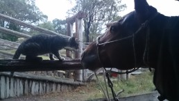 Sorry for bad quality - Kitty meeting the stallion.