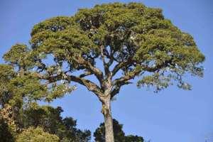 Tree on Mount Victoria in Chin Hills Myanmar