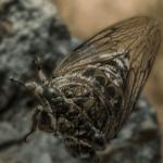 Cicada, Minnesota