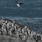 Cormorant and Penguins