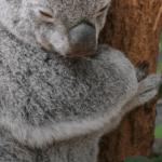 Young Koala. Lone Pine Koala Sanctuary outside Brisbane, Australia