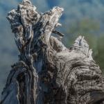 Dead tree roots, Ushuaia, Argentina