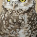 Burrowing Owl in Argentina by Jill Geoffrion