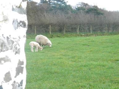 Obligatory sheep photo!