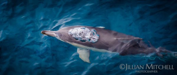 Dolphin breathes out as he glides towards the surface near Phillip Island, Australia.