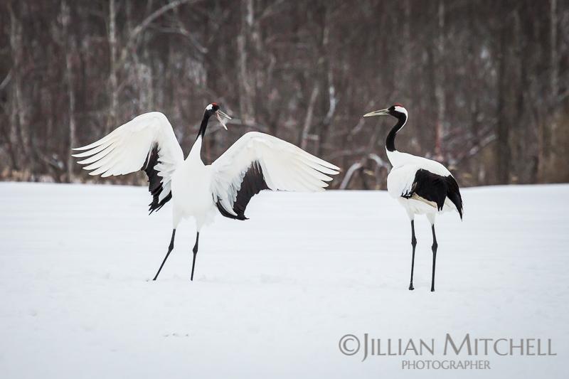 The incredible Red Crowned Crane in Hokkaido, Japan dancing in the snow.