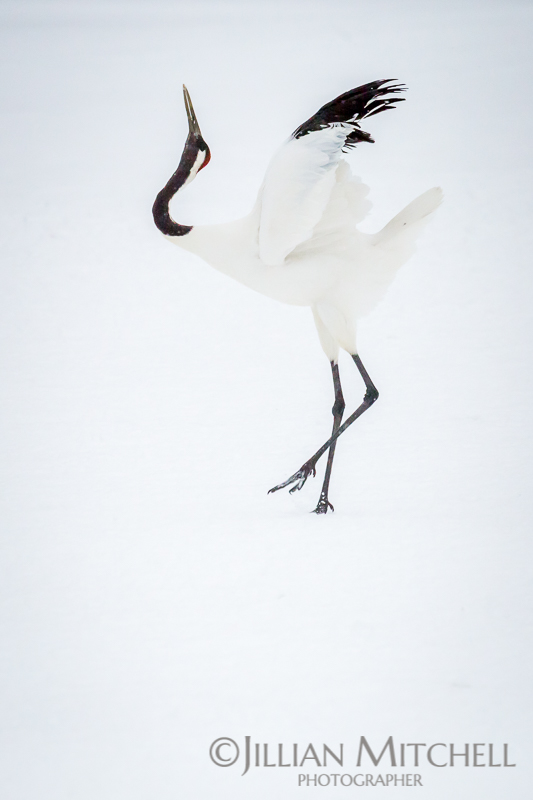 The incredible Red Crowned Crane in Hokkaido, Japan fluffing up the wings in preparation to dance.