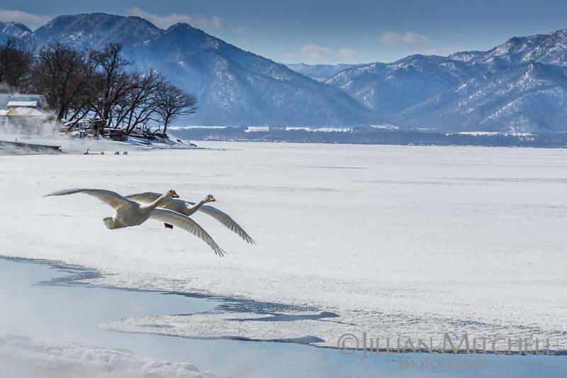 Whooper Swans on Lake Kussharo, Hokkaido, Japan.