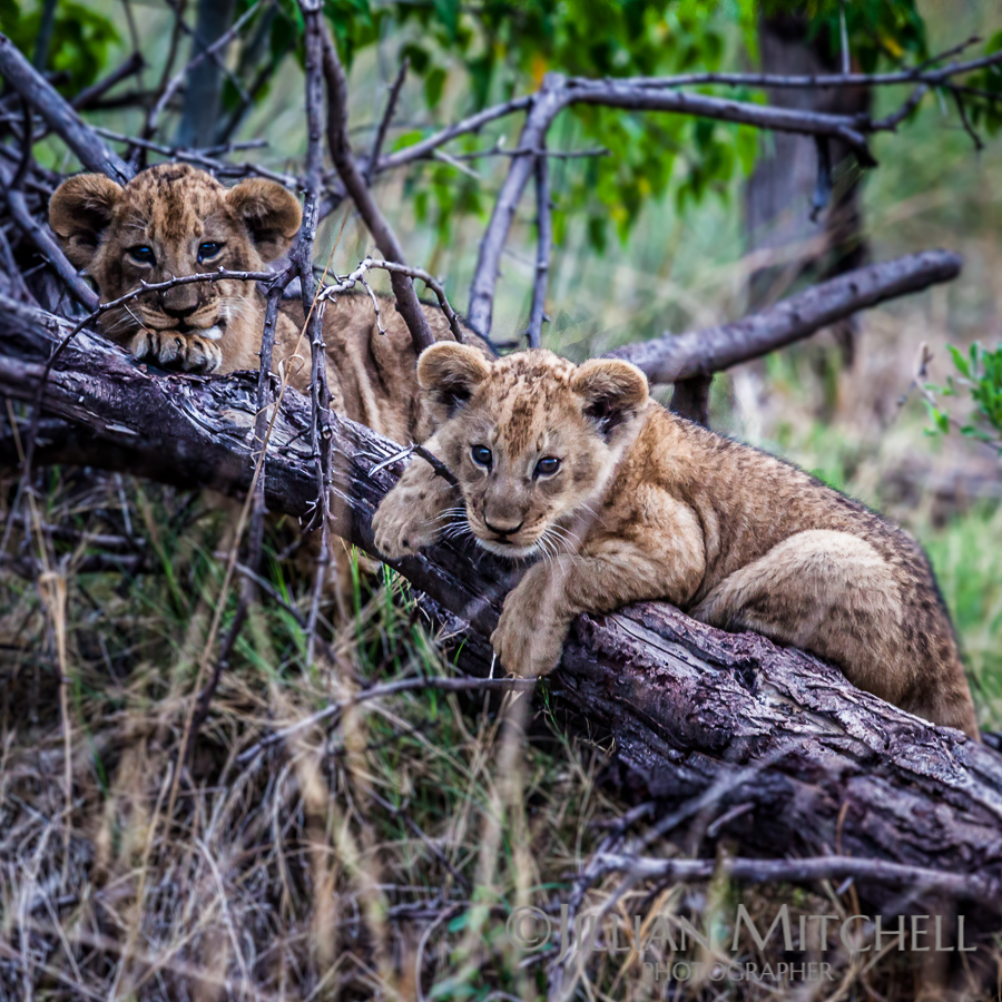 Cute little lion cubs playing in the grasses of the Okavango Delta, Botswana.
