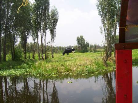 cow grazing Xochimilco