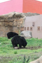 bears at Desert Museum