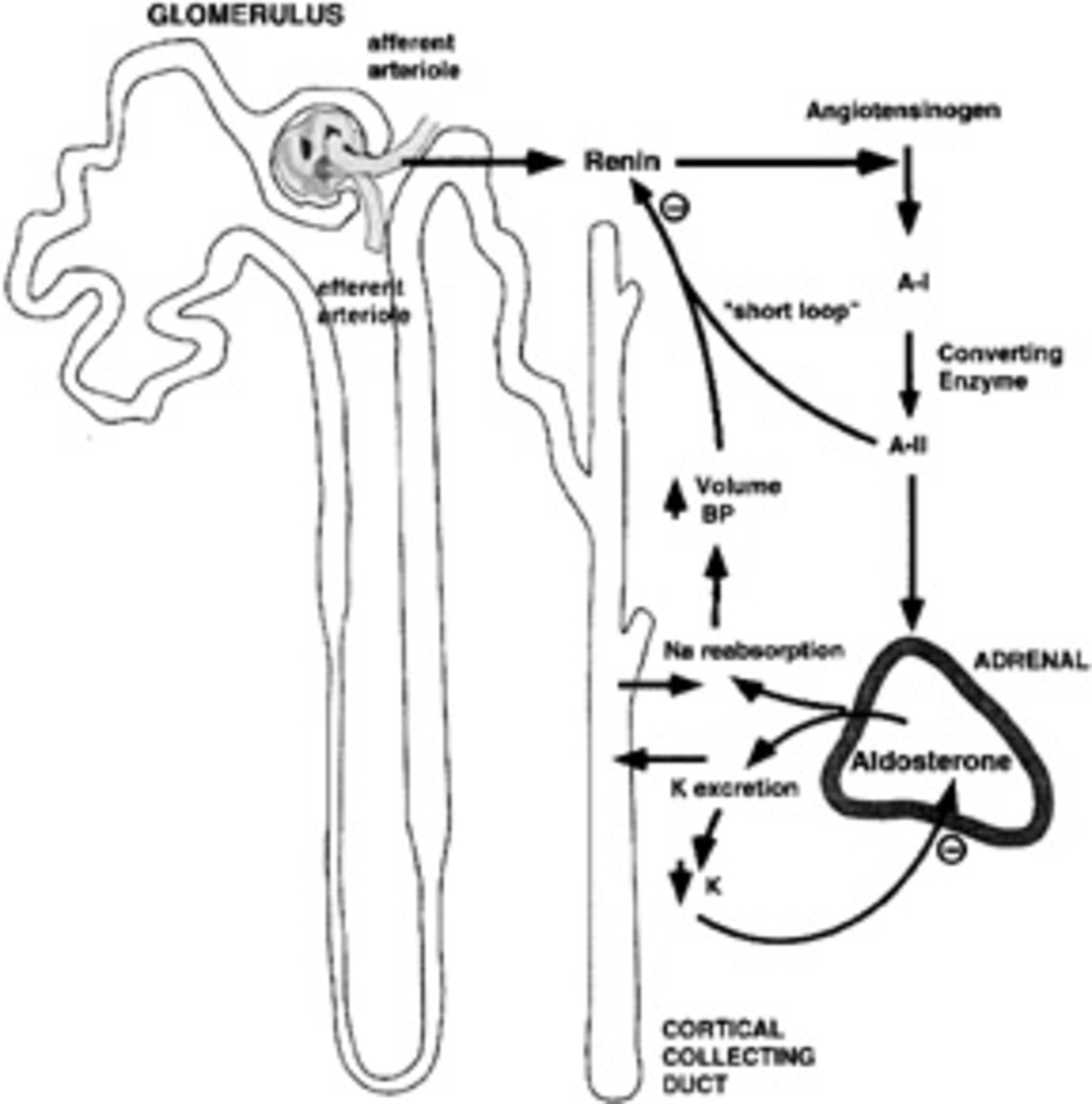 Intracardiac and Intrarenal Renin-Angiotensin Systems