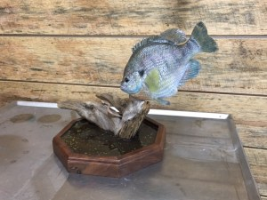 painted bluegill