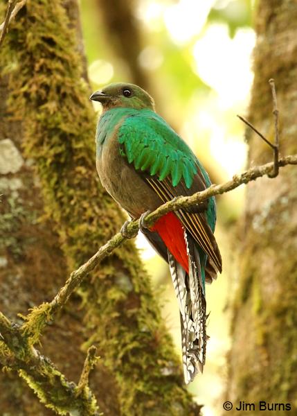 Image result for resplendent quetzal female