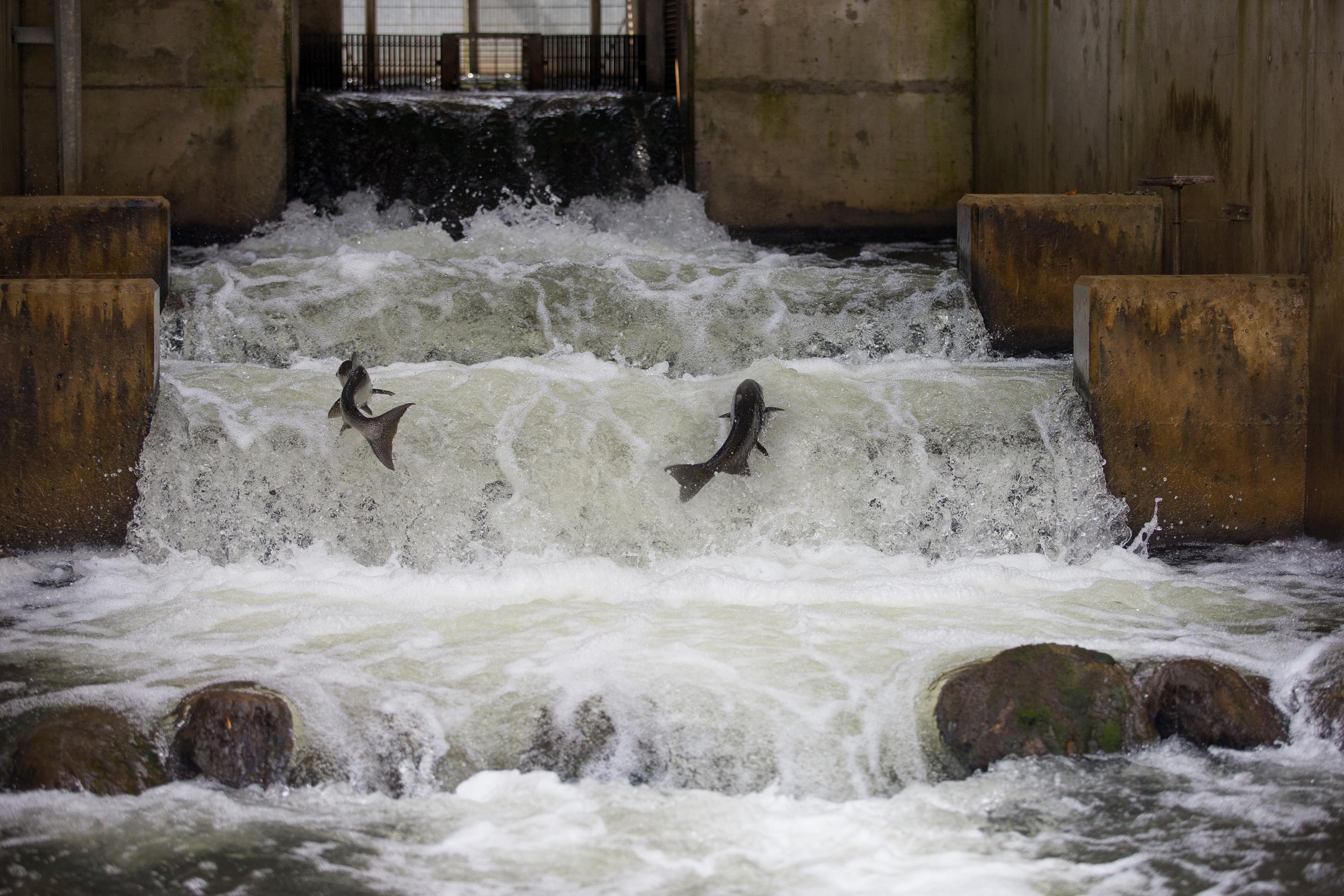 Salmon climbing a fish ladder in Grey County. If you've never seen a salmon run, you're in for  something spectacular. - PHOTO COURTESY VISITGREY.CA