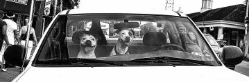 car dogs