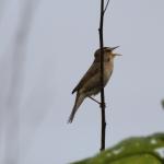 BORG鳥撮14回目 連日のコヨシキリは生振で撮影なんだぜ♪
